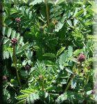 salad burnet perennial heirloom herb