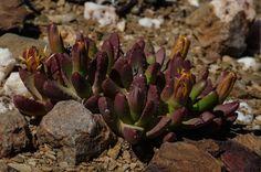 Stomatium suricatinum