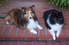 Sheltie...and Sheltie/American Eskimo