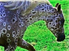 Peacock Appaloosa...simply goegeous.