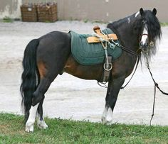 6 Irish Horse Breeds That You Should Know - Horses & Foals Pony Breeds, Horse Breeds, Connemara Pony, Types Of Horses, Hobby Horse, New Forest, Picture Captions, Show Horses, Beautiful Horses