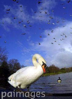 Swans on the lake at Sefton Park, Liverpool enjoy the cold morning snap.