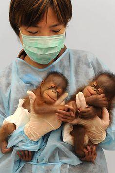 baby orangutang