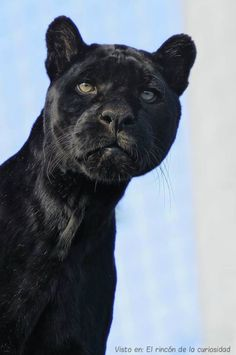 ~Puma *w*