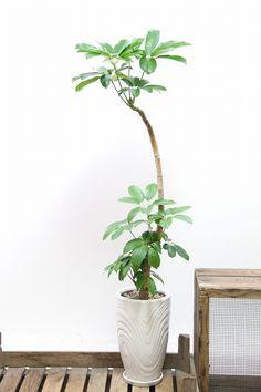 ブラッサイア| 観葉植物の通信販売 | APEGO【アペーゴ】手を広げたようなシルエットが特徴の観葉植物です!!とにかく丈夫で育てやすい!!とても育てやすく寒さにも強い観葉植物なので!お部屋のインテリアはもちろん開店、開業などのお祝いのシーンにも大活躍の観葉植物です!!  ■ブラッサイアはとにかく丈夫で手間いらず。少々ほったらかしでも美しい樹形を保ってくれます。あまり手間をかけられない方にはおすすめの観葉植物といえます!