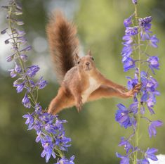 The wild forager looked like an acrobat as it perfectly balanced on the delicate delphinium flowers. The pictures were taken by professional photographer Geert Weggen in his garden Happy Squirrel, Red Squirrel, Delphinium Flowers, Flowers Perennials, Macro Photography, Animal Photography, Funny Animals, Cute Animals, Short Plants