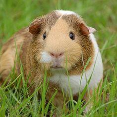 meerschweinchen, haustier, guinea, nagetier
