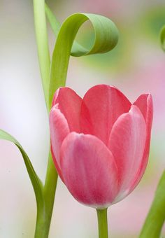 Tulip - Pink and Green
