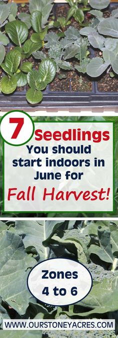 I know in June it's hard to even imagine cool fall temperatures. But there are seedlings you should start in June for a fall harvest. This post in meant for those of you living in Zones 4 to 6.