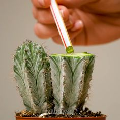 Gardens Discover 6 rules to grow aloe citrus plants and roses Top tips to grow roses and other interesting plants. Succulent Gardening, Succulents Garden, Garden Plants, House Plants, Planting Flowers, Container Gardening, Propagating Succulents, Gardening Tips, Landscaping Plants