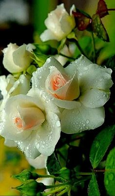 Captivating Why Rose Gardening Is So Addictive Ideas. Stupefying Why Rose Gardening Is So Addictive Ideas. Amazing Flowers, Beautiful Roses, Pretty Flowers, Gif Kunst, White Roses, White Flowers, Virtual Flowers, Garden Care, Plantation