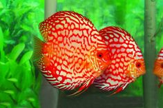 Bought two Pigeon Blood Discus last night. Quite the spectacular display of color seeing as these are freshwater fish.