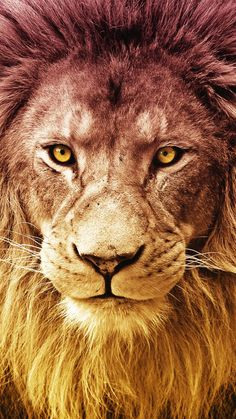 Lion Wallpaper Galatasaray Wallpaper - is is paper - Lion Wallpaper Iphone, Lion Live Wallpaper, Animal Wallpaper, Phone Wallpapers, Homescreen Wallpaper, Lion Images, Lion Pictures, Lion And Lioness, Lion Of Judah