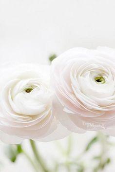 White Ranunculas