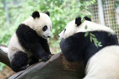Rita Petita Mr Wu & Bai Yun  Xiao Liwu visits with his Momma Bai Yun. He seems to have something important to share with her.