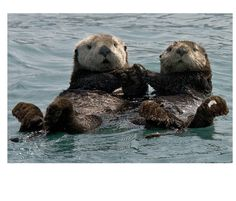 Fact: Female otters often wear their engagement rings on their hind flippers.
