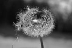'dandelion' by throughthekeyholekatie