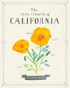 California State Flower Print The Golden Poppy by PetitReve Cello, Kansas State Flower, Black Eyed Susan, California Dreamin', Vintage California, Amazing Drawings, Illustrations, E Design, Flower Prints