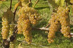 Summit Muscadine Grapes at Backyard Fruit