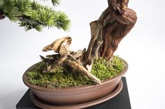 Pine Tree, Bonsai, Planter Pots, How To Make, Style, Swag, Pine, Outfits, String Garden