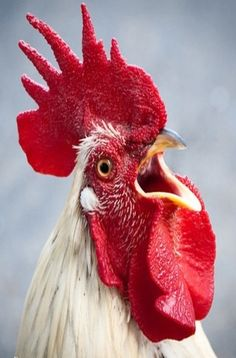 Close up view of a crowing rooster- handsome fellow! The best alarm clock around!
