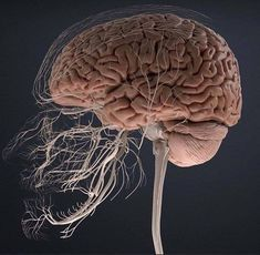 Human Anatomy Art, Brain Anatomy, Body Anatomy, Anatomy And Physiology, Dental Anatomy, Medical Anatomy, Medical Wallpaper, Biology Art, Brain Art