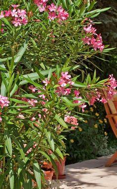 Der wärmeliebende Oleander ist zweifellos eine der beliebtesten Kübelpflanzen. Er blüht von Mai bis September, je nach Sorte in Weiß, Rosa, Apricot, Gelb und Rot. Hier finden Sie Pflegetipps für den mediterranen Blütenstrauch.