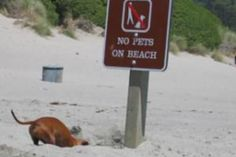 I love dachshunds, ok fine- if not on the beach,then I will gladly go under. So far, no rule on under. grrrrr