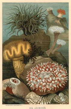 "Sea Anemones chromolithograph from the ""Animate Creation"" series of books by The Rev. J.G. Wood, 1885."