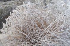 Pampas trava- uhvaćena u mrežu hladnoće i Inja