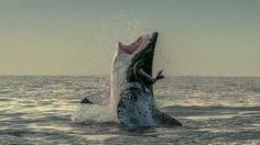 WEISSER HAI JAGT VOR KAPSTADTS KÜSTE Hai-jeijei, die Robbe hat Glück gehabt!