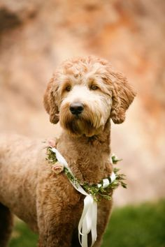 haircuts grooming bernedoodle dog goldendoodle apricot haircut chien labradoodles groom styles outline cockapoo goldendoodles