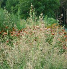 Sporobolus heterolepis Prairie dropseed from North Creek Nurseries