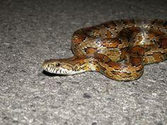 Corn Snake/Red Rat Snake  (Elaphe guttata guttata)  NON-VENOMOUS