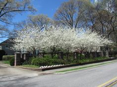 Sequoyah Hills Knoxville TN | Image of the Day > Dogwoods in Sequoyah Hills, Knoxville TN