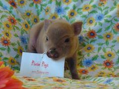Tiny teacup pigs, micro mini pigs and pixie pigs