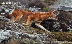 View a slideshow of photos of the Ethiopian wolf