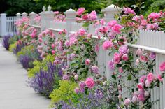 Sometimes simple plantings are the most stunning. Pink floribunda roses peek through a beautifully detailed fence with lavenders and salvia evenly spaced. Chartreuse lady's-mantle gives the simple planting some visual kick.