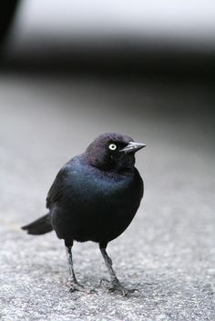 In spring, the male Brewer's blackbird is dressed in glossy greenish black plumage with a purplish black head and neck and yellow eyes. The female has a subdued brownish gray plumage and dark eyes. The bird has a peculiar gait, walking with short forward jerks of the head or running with its head held quite still as it forages on the ground for insects. It commonly flocks with red-winged blackbirds, tricolored blackbirds, or brown-headed cowbirds.