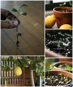 Gardening Tips To Regrow Fruit Trees From Seeds and Scraps Yourself, Grow your own Pinapple, Avocado, Apple, Lemon and Kiwi Trees from Kitchen scraps. Growing Apple Trees, How To Grow Lemon, Organic Compost, Organic Gardening, Pineapple Planting, Pineapple Top, Avocado Tree, Banana Plants, Growing Gardens