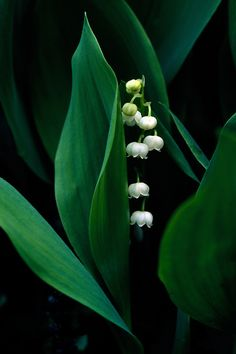 Lily of the Valley (Convallaria majalis) - Dainty white, bell-shaped flowers on racemes which are very sweet smelling.  Spreads aggressively by rhizomes.  Excellent ground cover and can be grown under trees in shade.  Blooms in April.  Part shade to full shade.