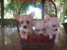 Chihuahua (chiguagua) venta - Criadero Cantillana