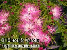 dwarf tropical flowers, texas | This item is mostly red flowers, however there is a chance of pink or ...