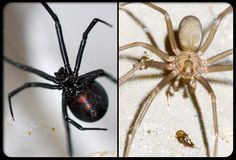 Black Widow Spiders and Brown Recluse Spiders Prevalent in North Dallas