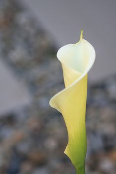 Calla Lily ..... Calla Lillies, Calla Lily, Pictures Of Calla Lilies, Hollyhock, Beautiful Flowers, Orchids, Wedding Flowers, Floral Design, Loa