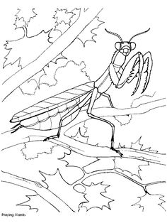Mantis coloring page