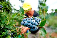 Ready to be picked! North America, Blueberry, Fruit, Organic Fertilizer, Foods, News, Blueberries, The Fruit