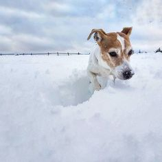 Tag me if you want to be featured Unique pawrents hoodies and Tshirts printed in USA link shop in my profile | Credit faber_smith : . I'm in love for this pic of Whisky!...is better here in my gallery  for remember this moment. . TBT  1January 2018. . #whisky_dog . . #wintertime #jackrussellterrier #jackrussell #jrt #snow #lovesnow #doglife #dogofinstagram #dogsofinstagram #winter #january #2018 #love #puppy #puppylove #italy