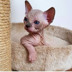 Cats Sphynx Sweets 42 New Ideas Kittens And Puppies, Cute Cats And Kittens, I Love Cats, Crazy Cats, Kittens Cutest, Beautiful Cats, Animals Beautiful, Cute Hairless Cat, Sphinx Cat