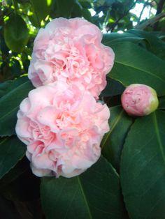 ~Camellia japonica 'Vasily' Light Pink Pink Flowers, Beautiful Flowers, Camellia Japonica, Cactus Blossoms, Pink Garden, Garden Plants, Flowering Plants, Flower Photos, Shrubs